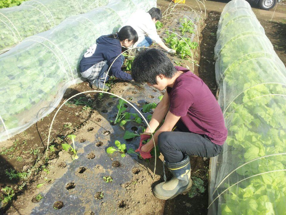 「いがねこ特製!伝統小松菜ソースのポテトドッグ」 学生と農家による地産地消の商品開発